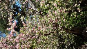大鹿桜が満開です。